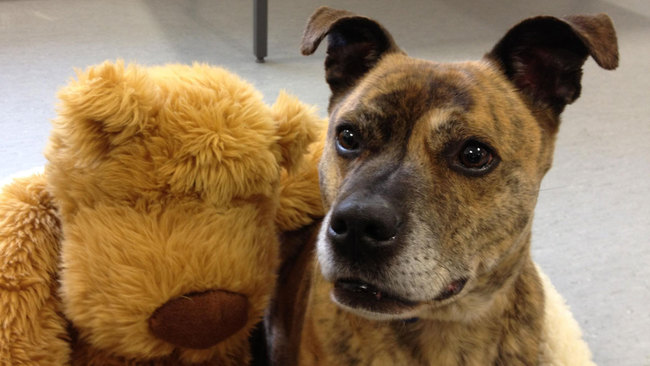 'Heart-breaking' number of staffies remain unhomed
