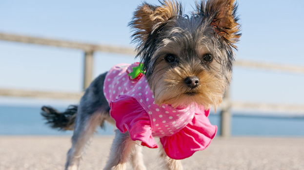 Summer's gone to the dogs: at least Sally the Yorkshire Terrier has been enjoying Aberdeen weather