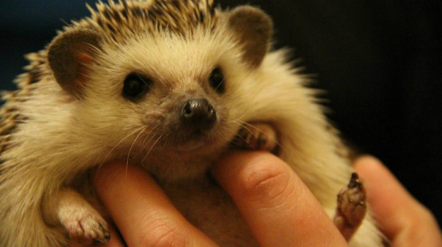 Owning A Hedgehog