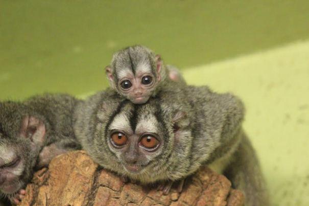 Cute night monkey - photo#1