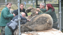The team of dentists and assistants working on bear.