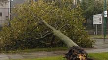 A fallen tree on Aberdeen's Beach Boulevard.