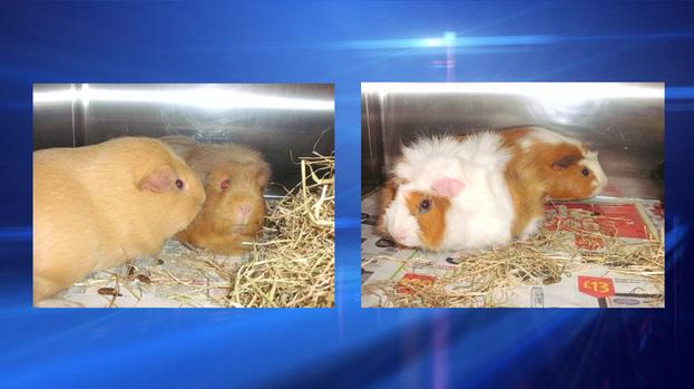 pet rescue guinea pigs kelly tulisa ant and dec. Black Bedroom Furniture Sets. Home Design Ideas