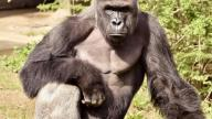 Harambe, a 17-year-old gorilla pictured at the Cincinnati Zoo.
