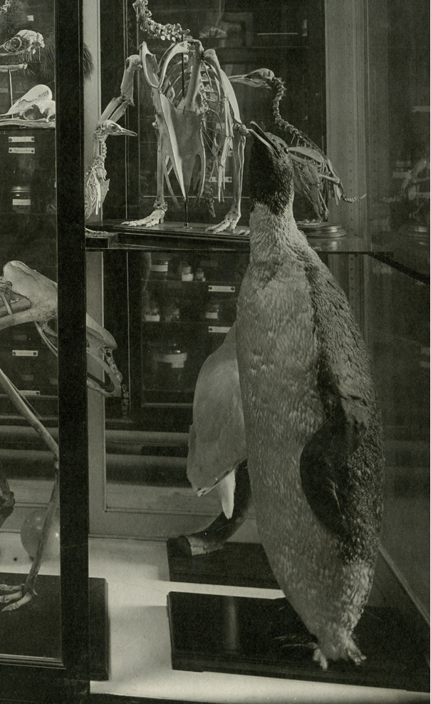 A stuffed penguin in a vitrine of a zoology museum